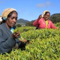 Tea pluckers, Nuwara Eliya